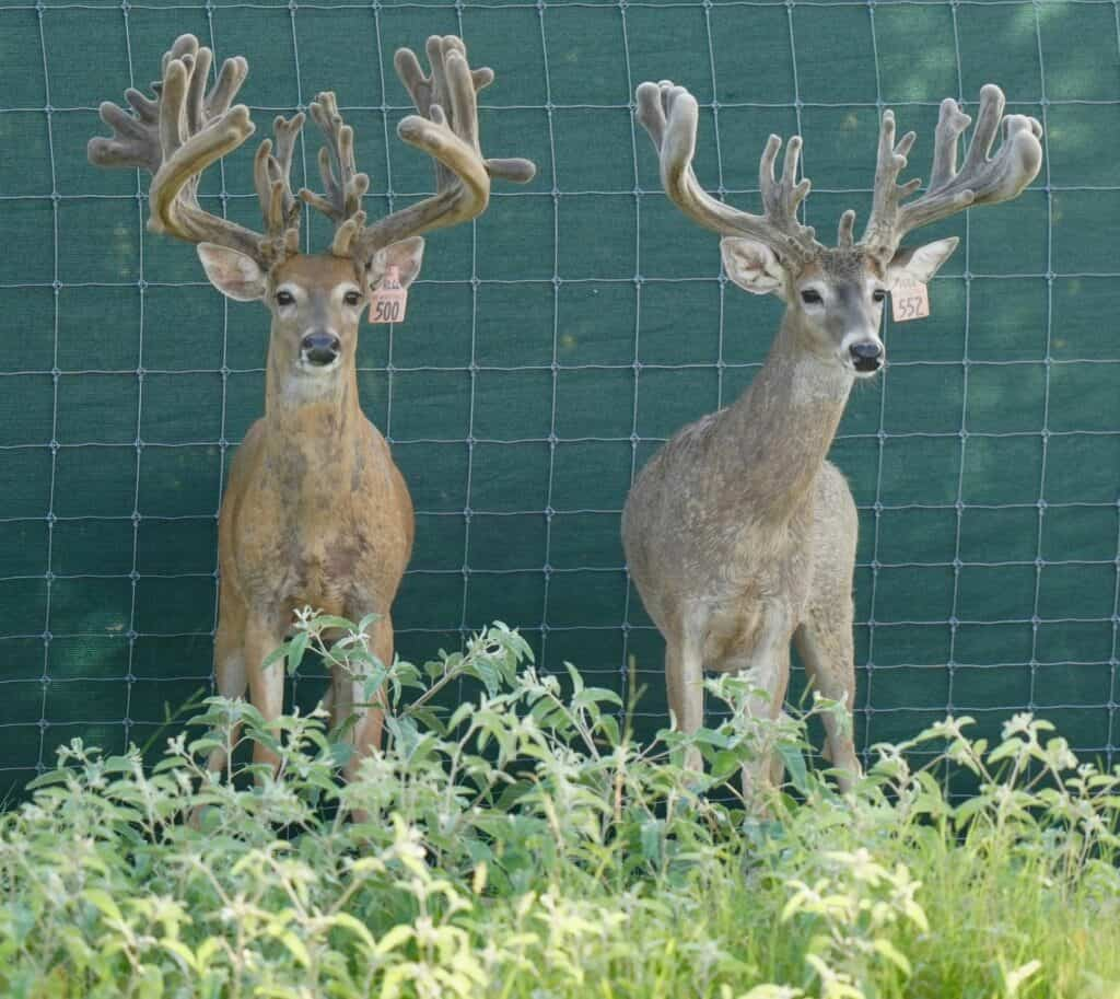 A pair of whitetail bucks among our deer for sale.