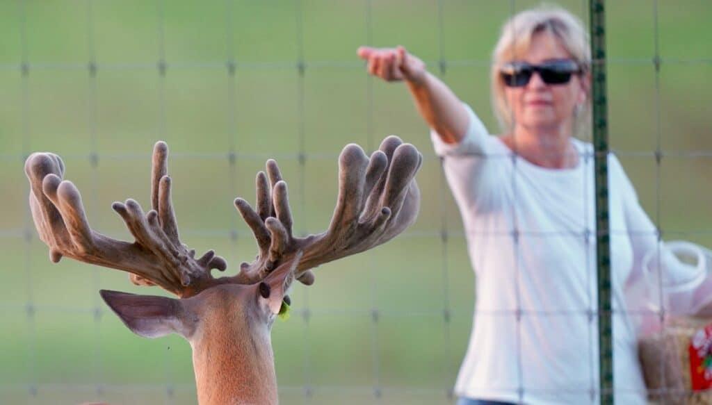 McBride feeding breeder buck animal crackers on the Texas deer breeders farm.