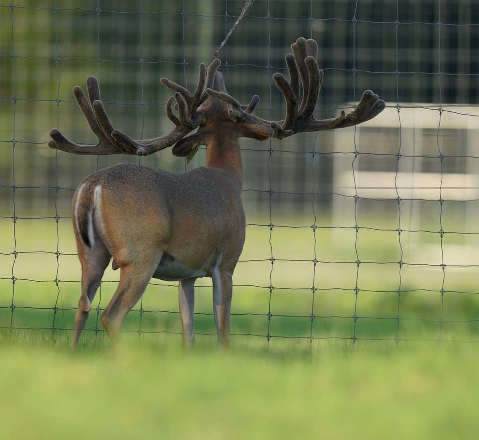 Breeder buck McNificent holding his head high displaying his wide rack on our Texas deer farm.
