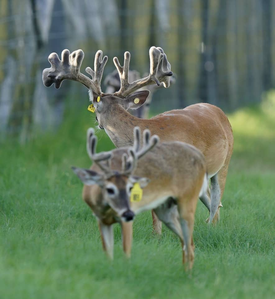 Two of our yellow tag bucks listed in our deer for sale.
