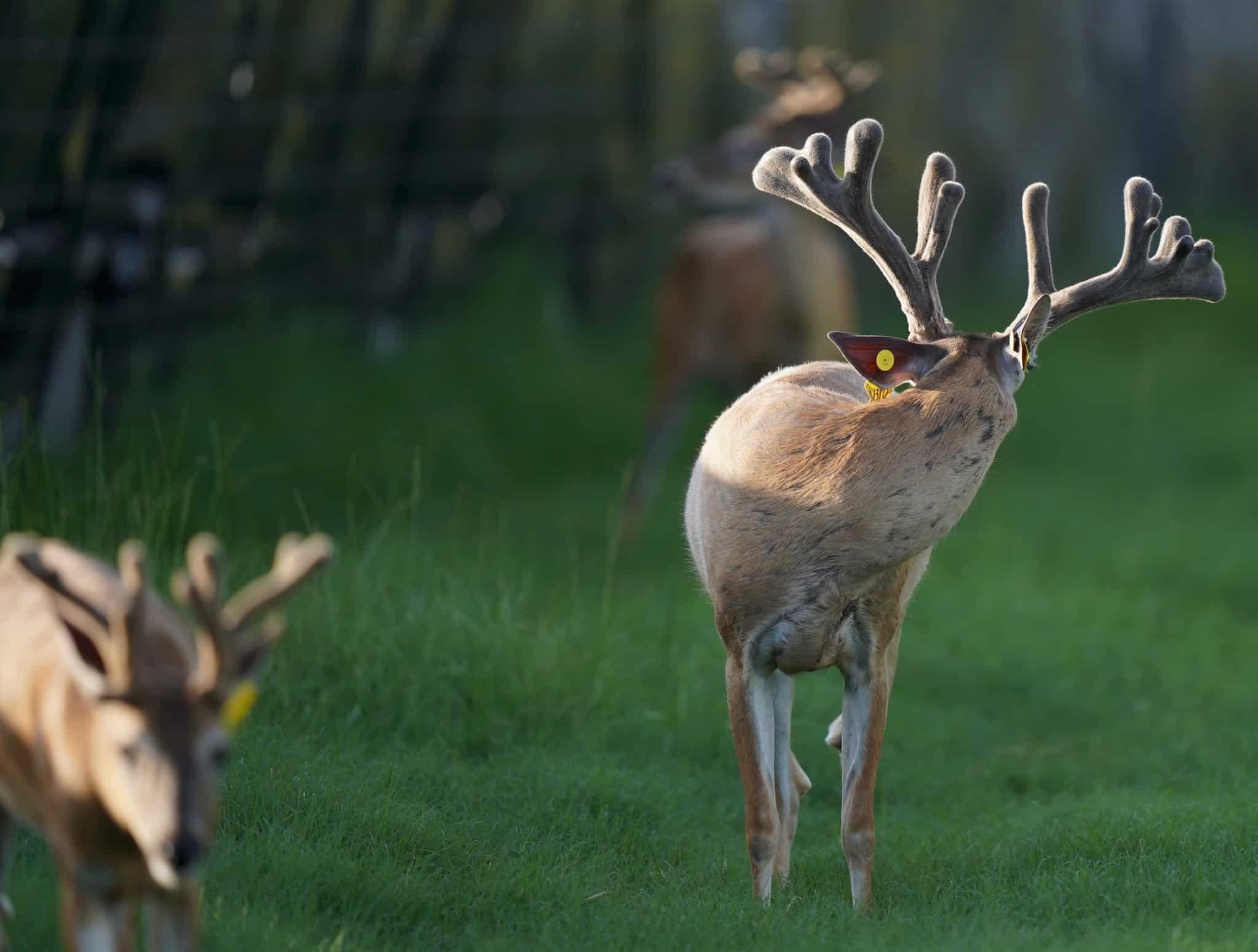 A pair of deer for sale on our Texas deer breeders farm.