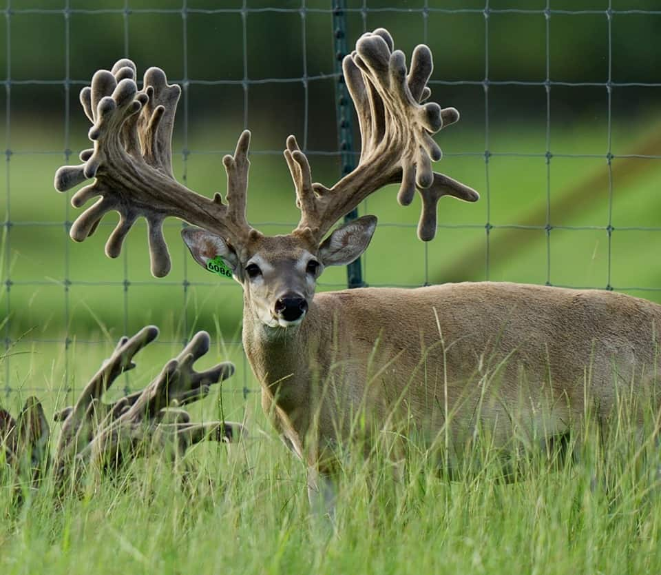 Whitetail buck breeder 6086 at age 3 years on our Texas deer breeding farm