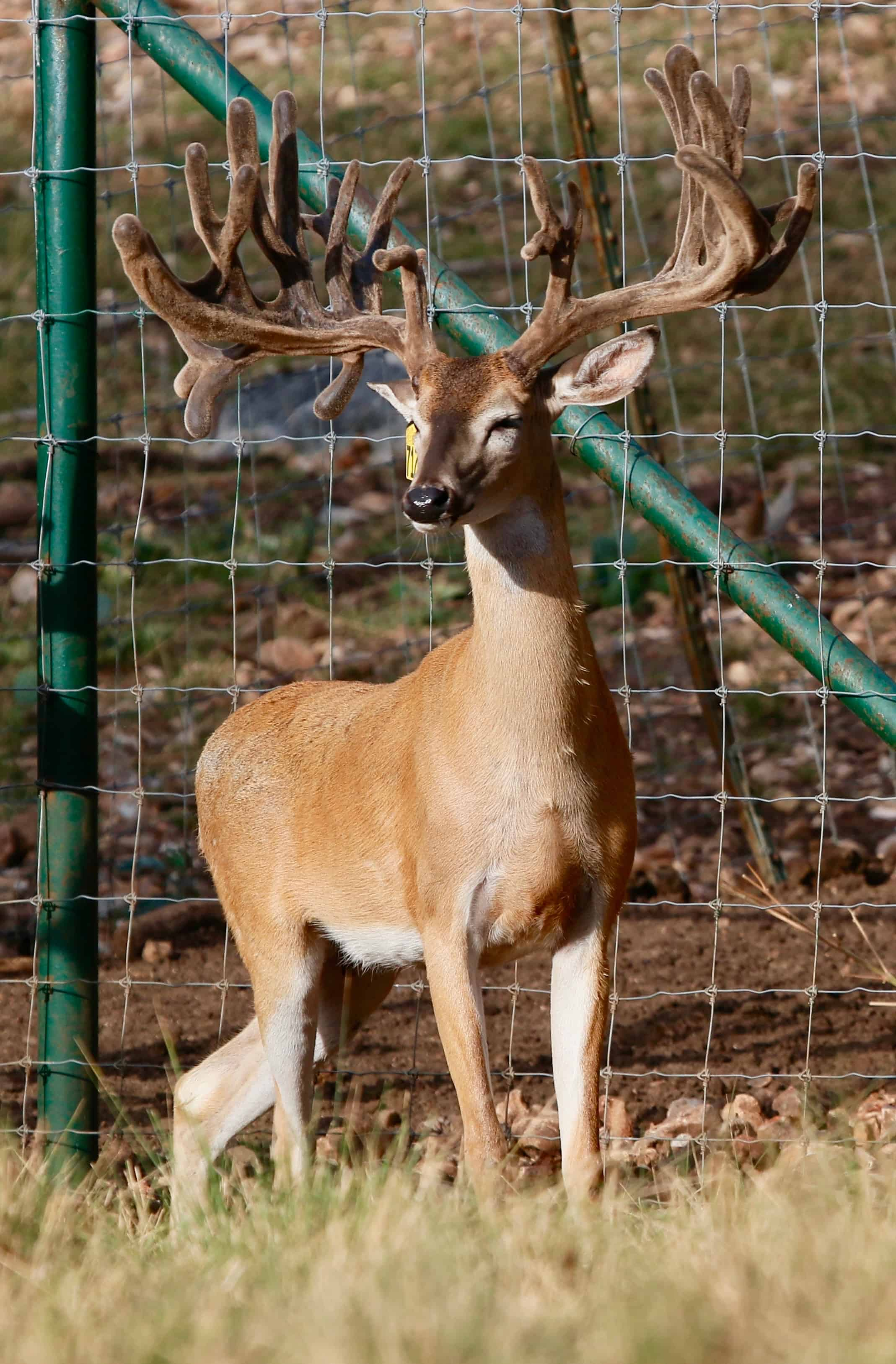Light duty for our 2yr old whitetail breeder buck 7122. He is a new addition to our Texas deer breeding program and among our Big Texas Typicals, who will also work along side our other deer breeds in our deer for sale listing.