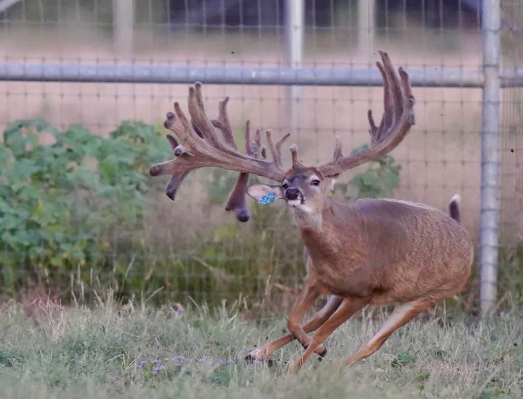Our new McClassic breeder buck heading toward our Texas deer farm...and soon to be introduced to our McNificent daughters.