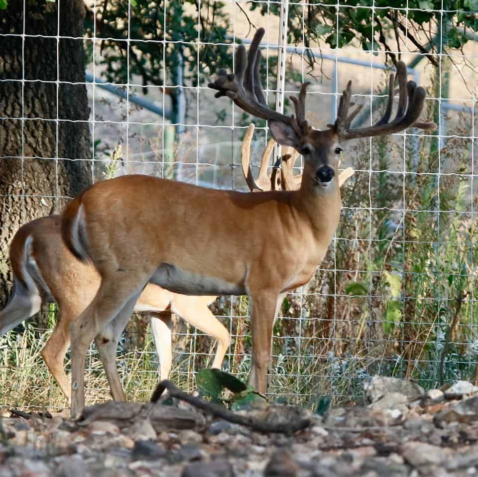 Two year old whitetail breeder buck 7028 is a recently added asset to our Texas deer breeding farm and light duty is scheduled this year.  He along with our other Big Texas Typicals  will be producing more of our exceptional deer for sale.
