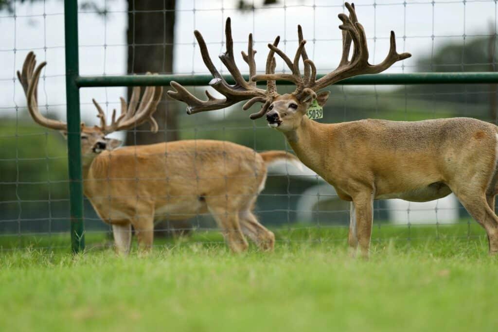 Breeder buck McNificent on our Texas deer breeder farm.
