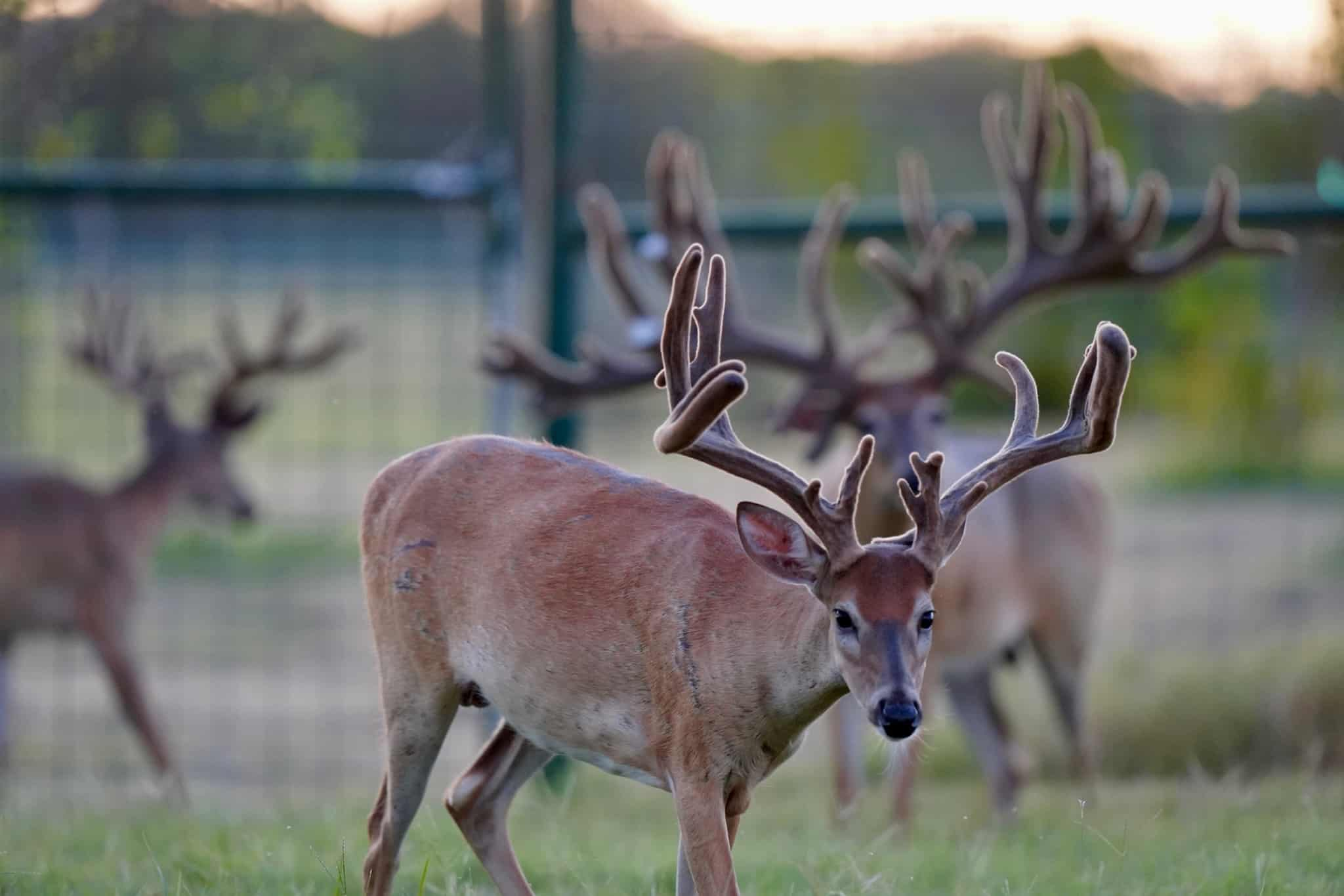 Breeder buck McNificent is overshadowing his whitetail yearling sons on our Texas deer breeders farm.