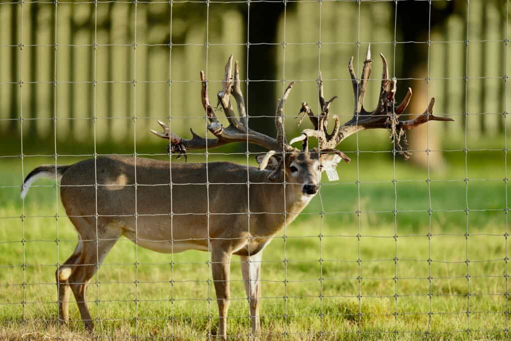 Breeder buck McNificent at 4 on our Texas deer breeding farm