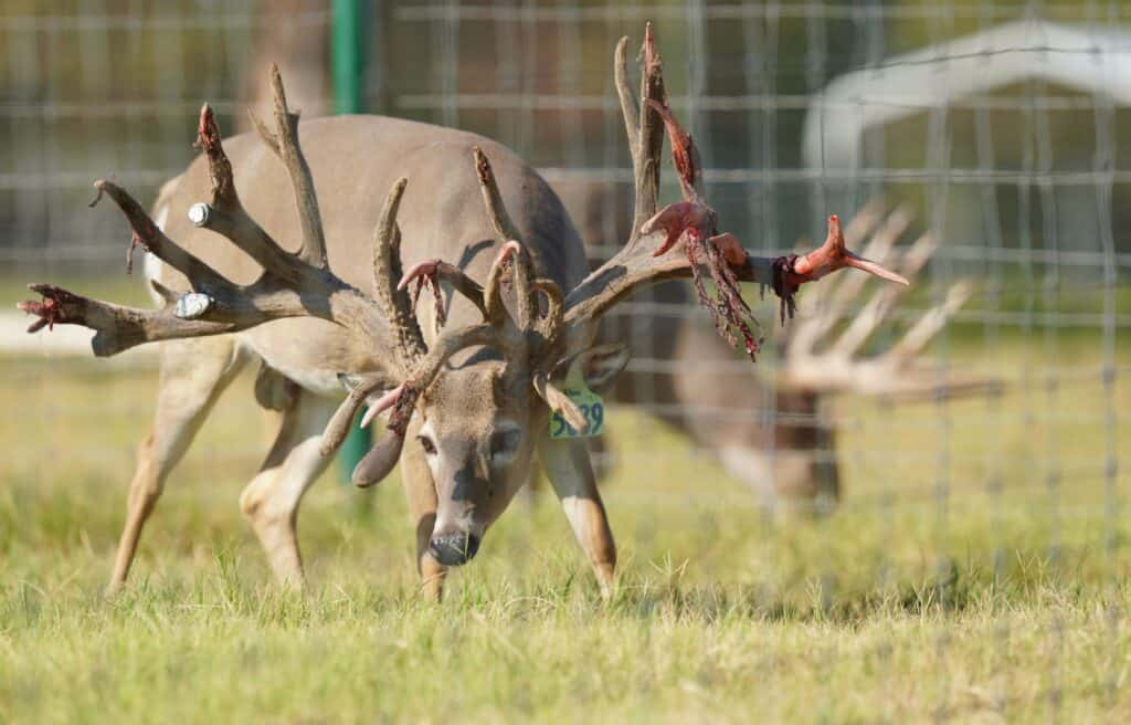 Breeder buck McNificent is outstanding in his field on our Texas deer breeders farm.