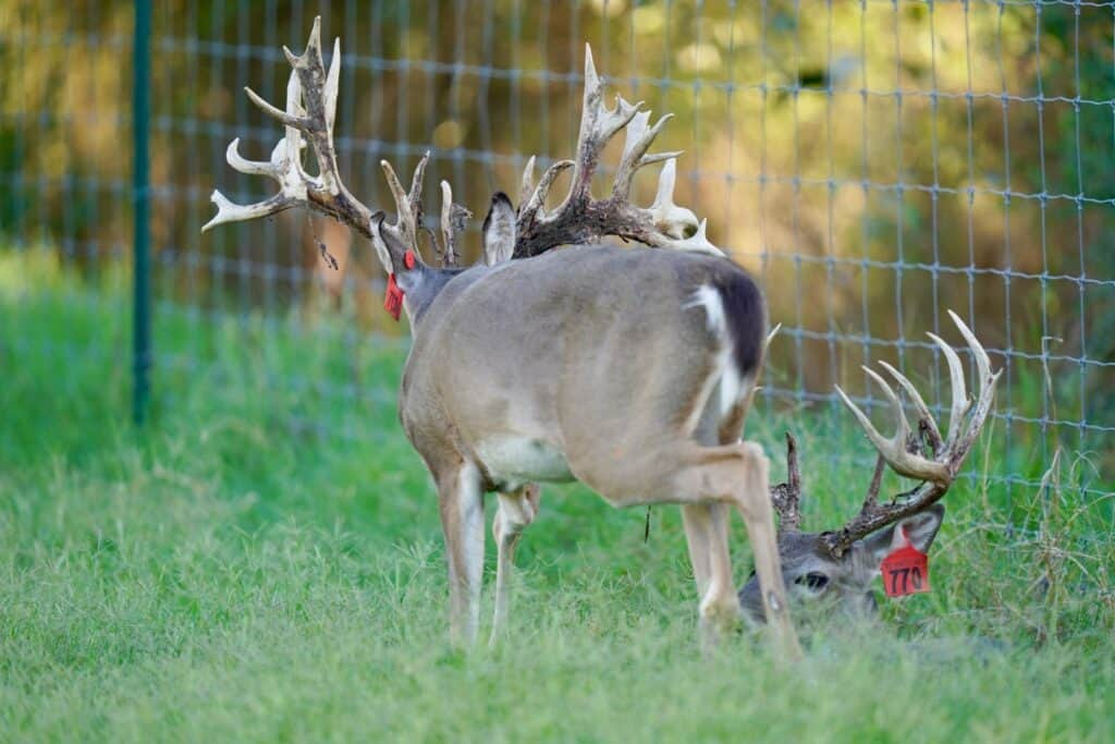 Two year old whitetail bucks Red 750 and Red 770 grazing in the pen on our Texas deer breeders farm.
