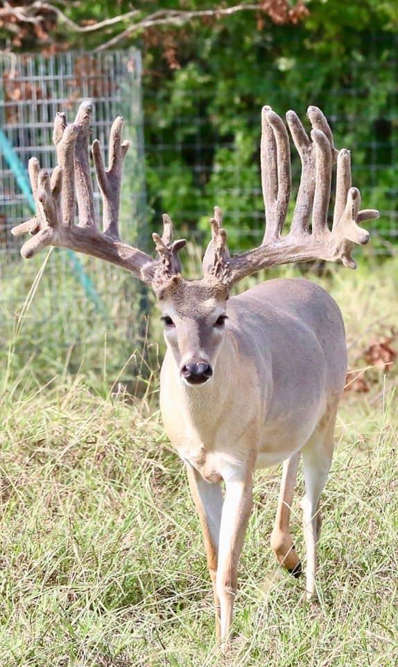 As a Texas breeding farm, Breeder buck Abracadabra has an exceptional pedigree and genetic lines.