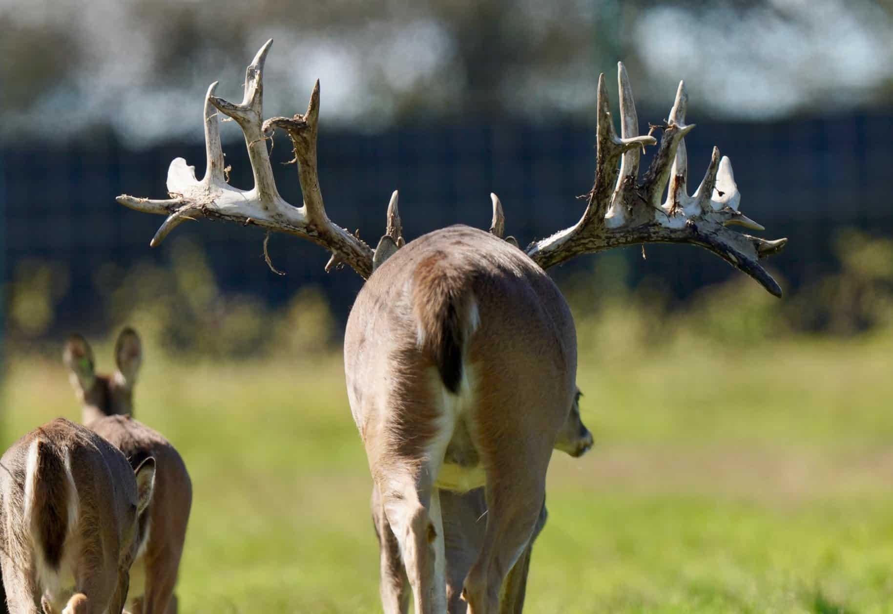 Breeder bucks on our Texas deer breeders farm