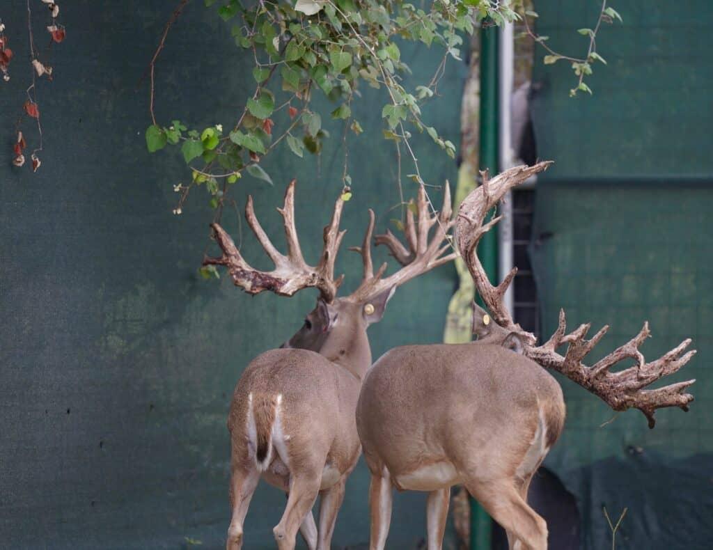 Breeder bucks McClassic Supreme Dream and McClassic Yardstick on our Texas deer breeder farm