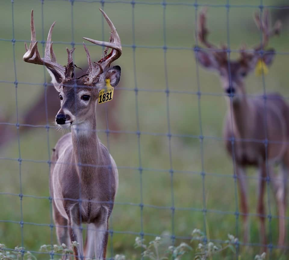 Whitetail yearling deer Yellow 1831 in the pen on our Texas deer breeders farm.