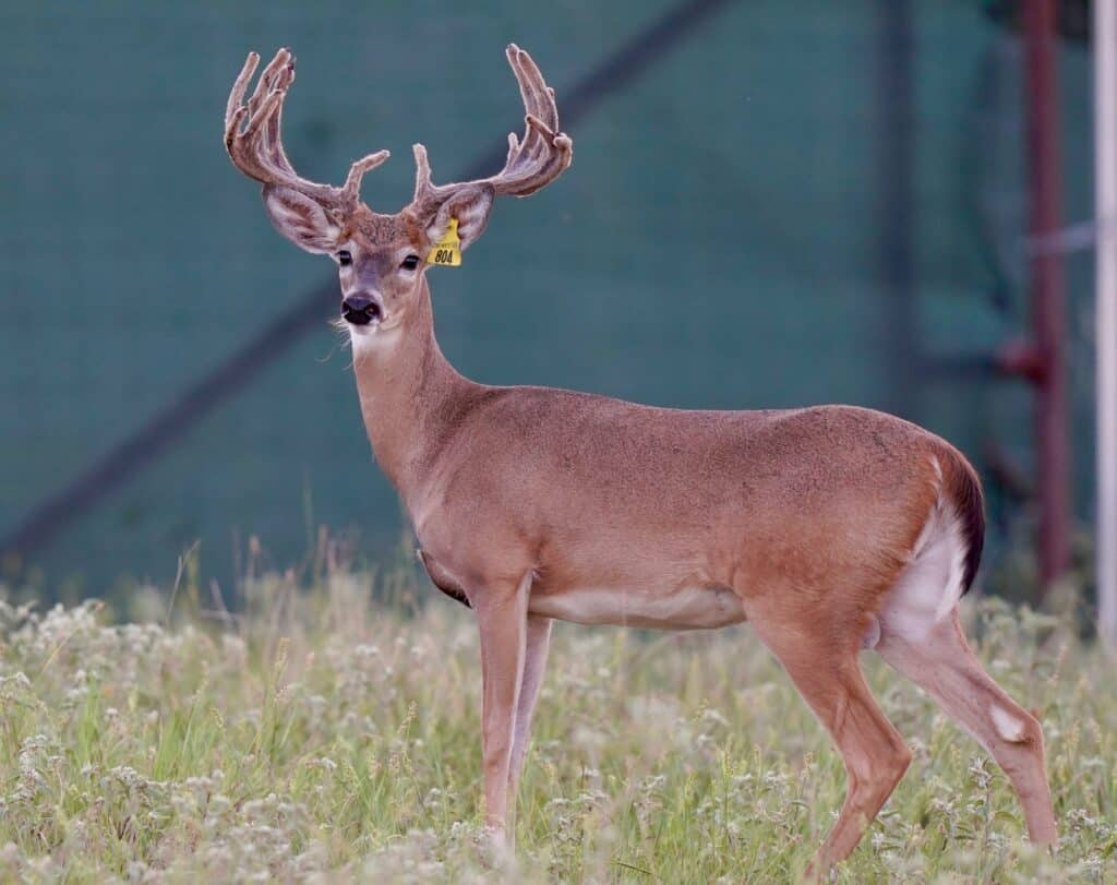 Whitetail yearling Yellow 804 on our Texas deer breeding farm