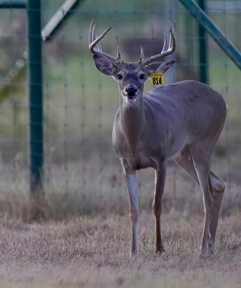 Whitetail yearling Yellow 814 in the pen on our deer farm in Texas