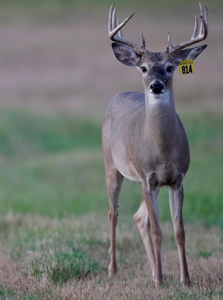 Whitetail yearling deer Yellow 814 on our Texas deer breeding farm