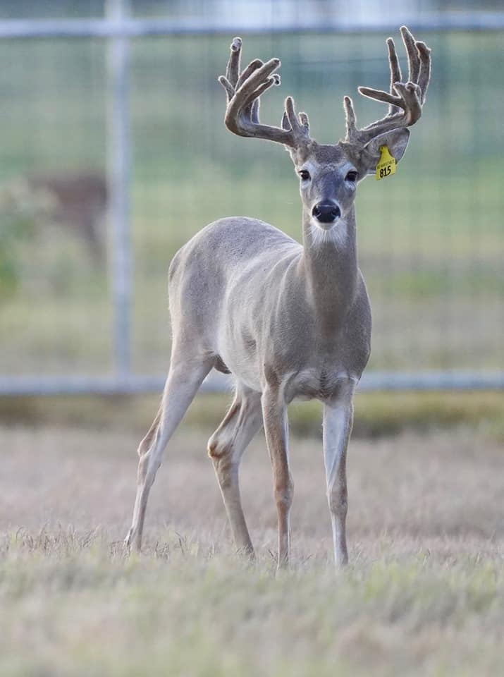 Whitetail yearling Yellow 815 of our deer farm in Texas.