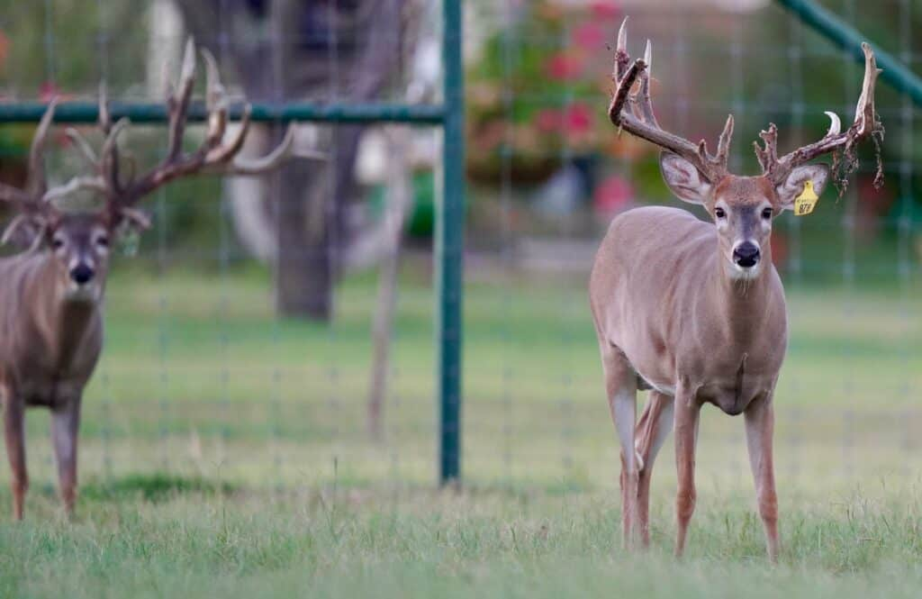Whitetail yearling Yellow 878 in the pen on our Texas deer breeders farm.