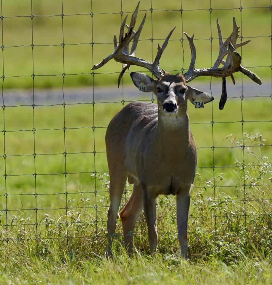 Breeder buck yellow 734 on our deer breeding farm in Texas