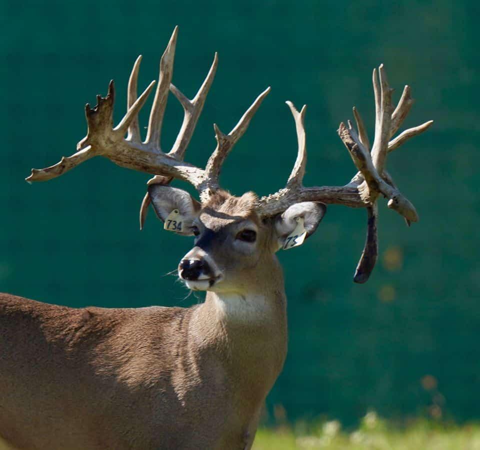 Buck yellow 734 on our Texas deer breeding farm