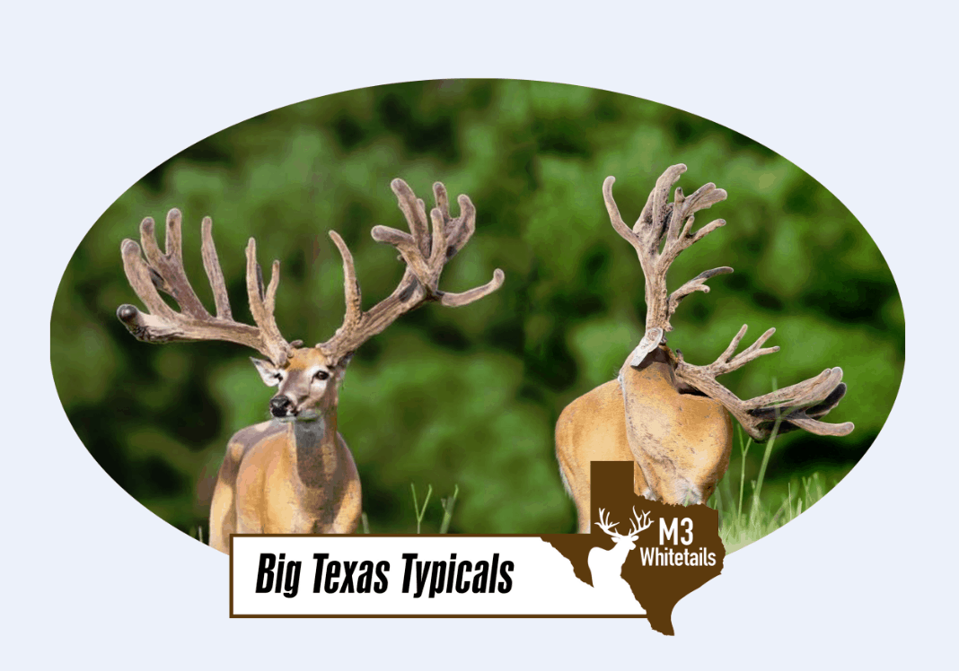 Breeder buck McNificent sire buck is not too shabby on our Texas deer farm.