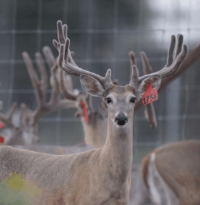 M3-Red 1756 is among our premium 2017 whitetail bucks for sale on our Texas Deer Farm.