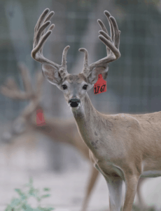 M3-Red 1767 is among our premium 2017 whitetail bucks for sale on our Texas Deer Farm.