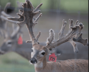 M3-Red 729 is among our premium 2017 whitetail bucks for sale on our Texas Deer Farm.