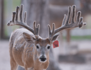 M3-Red 766 is among our premium 2017 whitetail bucks for sale on our Texas Deer Farm.