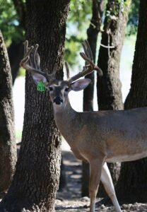 M3-Green 7178 is listed among our featured Breeder Bucks here on our Texas deer breeding farm.