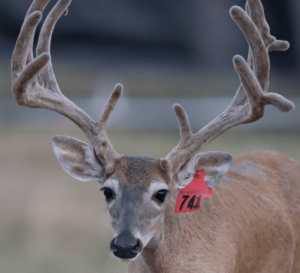 M3-Red 741 is among our premium 2017 whitetail bucks for sale on our Texas Deer Farm.