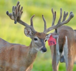 M3-Red 776 is among our premium 2017 whitetail bucks for sale on our Texas Deer Farm.