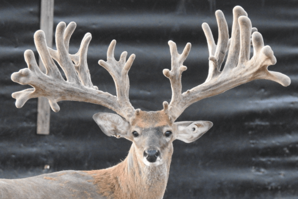 Whitetail breeder buck M3 McStep Child is a recently added asset to our Texas deer breeding farm.