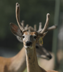 M3-Yellow 2821 is among our premium 2018 whitetail bucks for sale on our Texas Deer Farm.
