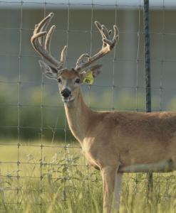 M3-Yellow 805 is among our premium 2018 whitetail bucks for sale on our Texas Deer Farm.
