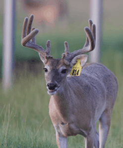 M3-Yellow 814 is among our premium 2018 whitetail bucks for sale on our Texas Deer Farm.
