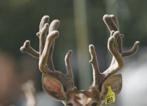 M3-Yellow 833 is among our premium 2018 whitetail bucks for sale on our Texas Deer Farm.