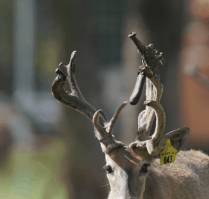 M3-Yellow 843 is among our premium 2018 whitetail bucks for sale on our Texas Deer Farm.
