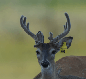 M3-Yellow 861 is among our premium 2018 whitetail bucks for sale on our Texas Deer Farm.