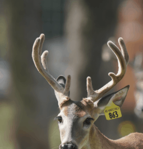M3-Yellow 863 is among our premium 2018 whitetail bucks for sale on our Texas Deer Farm.
