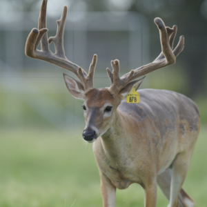 M3-Yellow 878 is among our premium 2018 whitetail bucks for sale on our Texas Deer Farm.