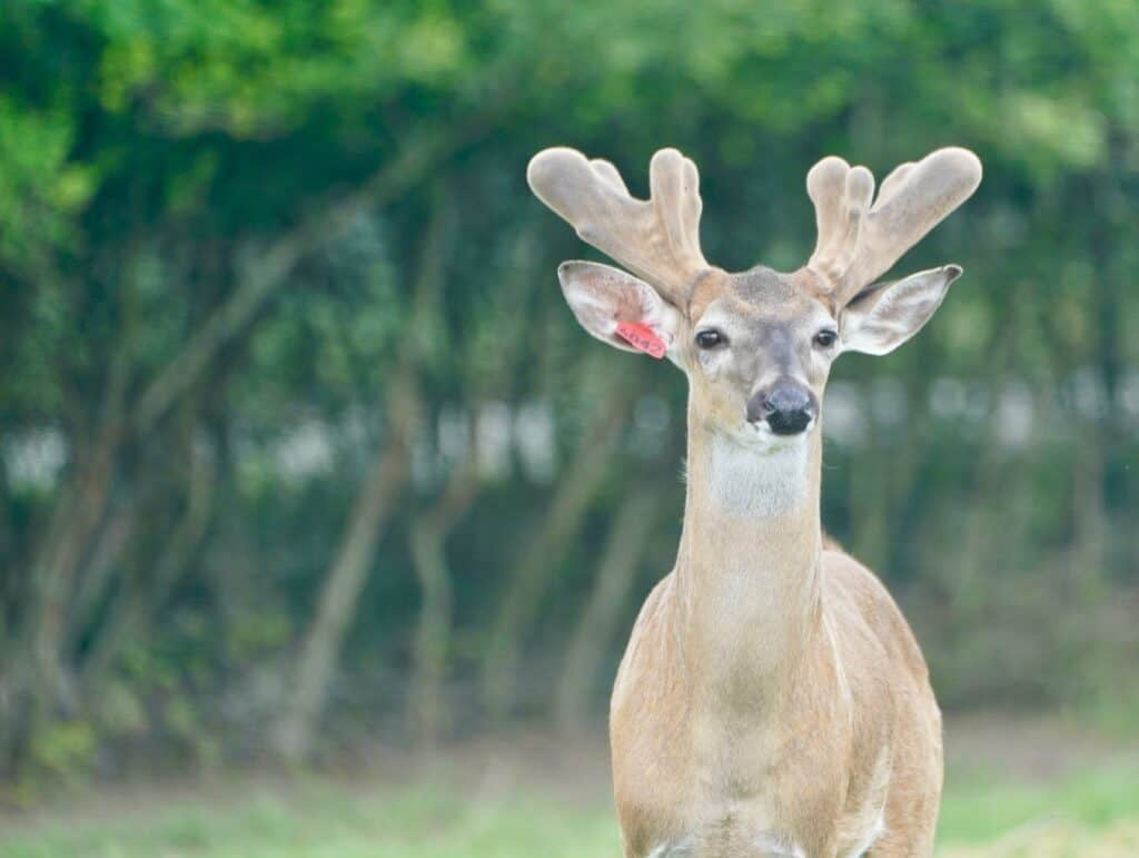 Starting to grow out here on our Texas deer farm, is SureFire. He is listed among our outstanding whitetail Breeder Bucks and represents just some of our high quality genetic lines.