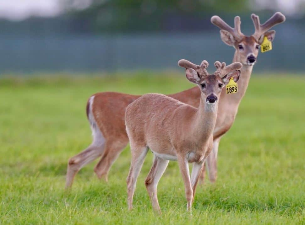 On our deer farm in Texas, these two year old whitetail bucks are making an excellent showing!