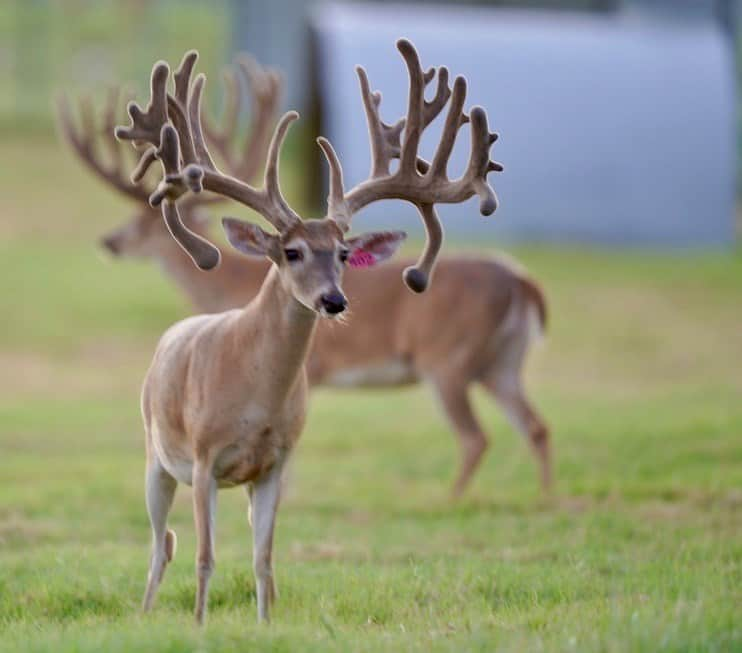 These M3 Whitetails bucks are growing out nicely at our Texas whitetail deer farm. M3 Whitetails are Texas deer breeders that specialize in raising and selling whitetail Breeder Bucks, whitetail DMP Bucks, whitetail Stocker Bucks, as well as open and bred whitetail does. Big Texas Typicals are what buyers want when buying Texas DMP Bucks, Stocker Bucks, and Breeder Bucks. Our whitetail deer for sale are sure to impress prospective buyers and are priced competitively.