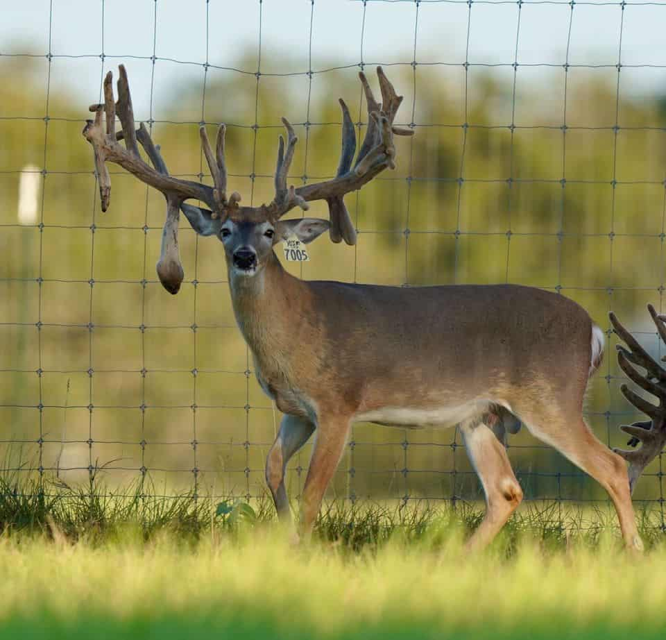This M3 Whitetails buck has grown out nicely at our Texas whitetail deer farm. M3 Whitetails are Texas deer breeders that specialize in raising and selling whitetail Breeder Bucks, whitetail DMP Bucks, whitetail Stocker Bucks, as well as open and bred whitetail does. Big Texas Typicals are what buyers want when buying Texas DMP Bucks, Stocker Bucks, and Breeder Bucks. Our whitetail deer for sale are sure to impress prospective buyers and are priced competitively.