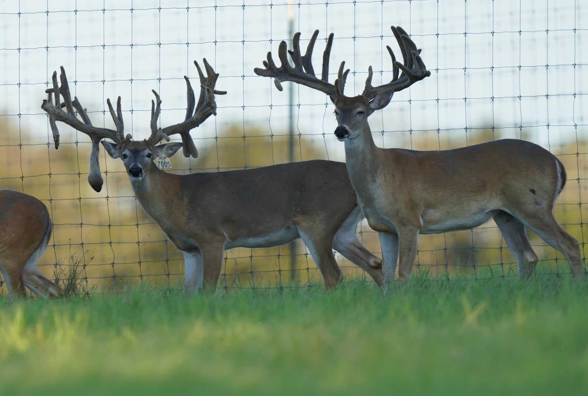 These M3 Whitetails bucks have grown out nicely at our Texas whitetail deer farm. M3 Whitetails are Texas deer breeders that specialize in raising and selling whitetail Breeder Bucks, whitetail DMP Bucks, whitetail Stocker Bucks, as well as open and bred whitetail does. Big Texas Typicals are what buyers want when buying Texas DMP Bucks, Stocker Bucks, and Breeder Bucks. Our whitetail deer for sale are sure to impress prospective buyers and are priced competitively.