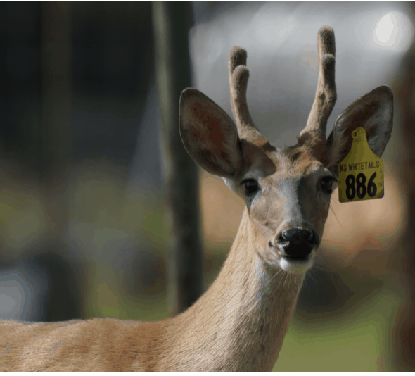 This M3 Whitetails buck is growing out nicely at our Texas whitetail deer farm. M3 Whitetails are Texas deer breeders that specialize in raising and selling whitetail Breeder Bucks, whitetail DMP Bucks, whitetail Stocker Bucks, as well as open and bred whitetail does. Big Texas Typicals are what buyers want when buying Texas DMP Bucks, Stocker Bucks, and Breeder Bucks. Our whitetail deer for sale are sure to impress prospective buyers and are priced competitively.