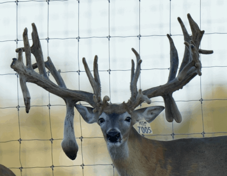M3 Whitetails are Texas deer breeders that specialize in raising and selling whitetail Breeder Bucks, whitetail DMP Bucks, whitetail Stocker Bucks, as well as open and bred whitetail does. Big Texas Typicals are what buyers want when buying Texas DMP Bucks, Stocker Bucks, and Breeder Bucks. Our whitetail deer for sale are sure to impress prospective buyers and are priced competitively.