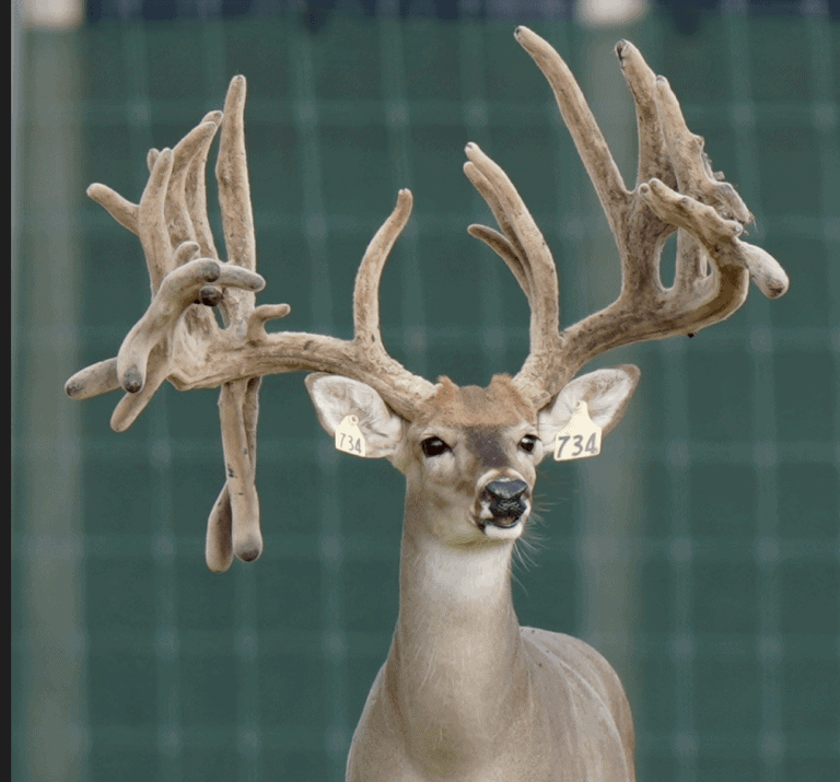 M3 Whitetails are Texas deer breeders that specialize in raising and selling whitetail Breeder Bucks, whitetail DMP Bucks, whitetail Stocker Bucks, as well as open and bred whitetail does. Big Texas Typicals are what buyers want when buying Texas DMP Bucks, Stocker Bucks, and Breeder Bucks. Our whitetail